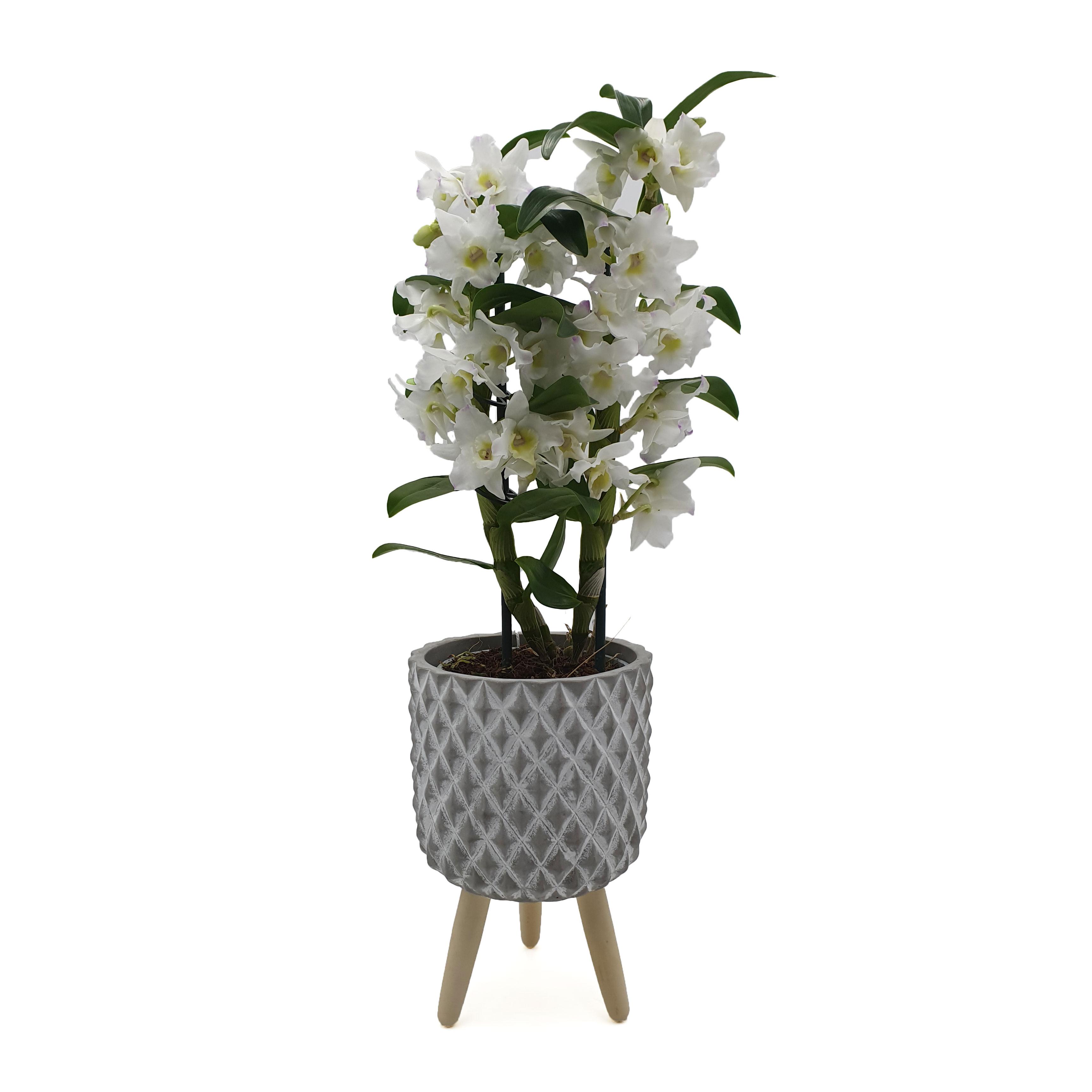 Augalas Orchidėja Dendrobis (Dendrobium nobile)