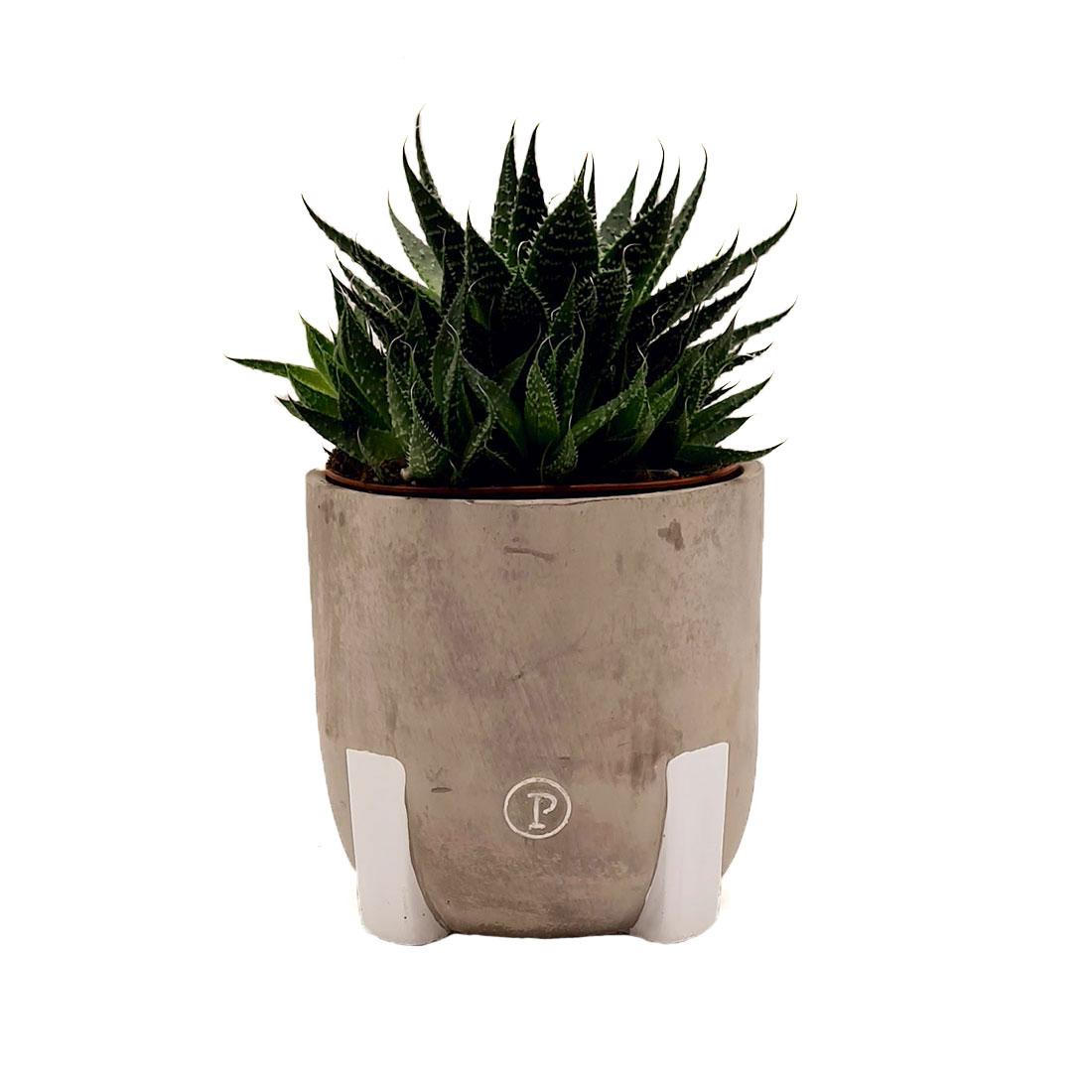 Vazoninis augalas AVORTIJA (HAWORTHIA), su vazonu