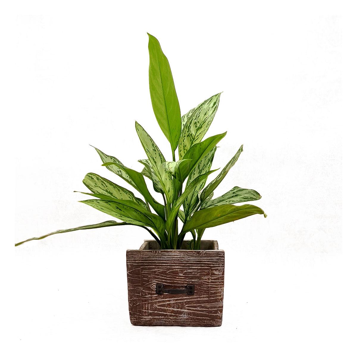 Vazoninis augalas AGLAONEMA (AGLAONEMA), be vazono