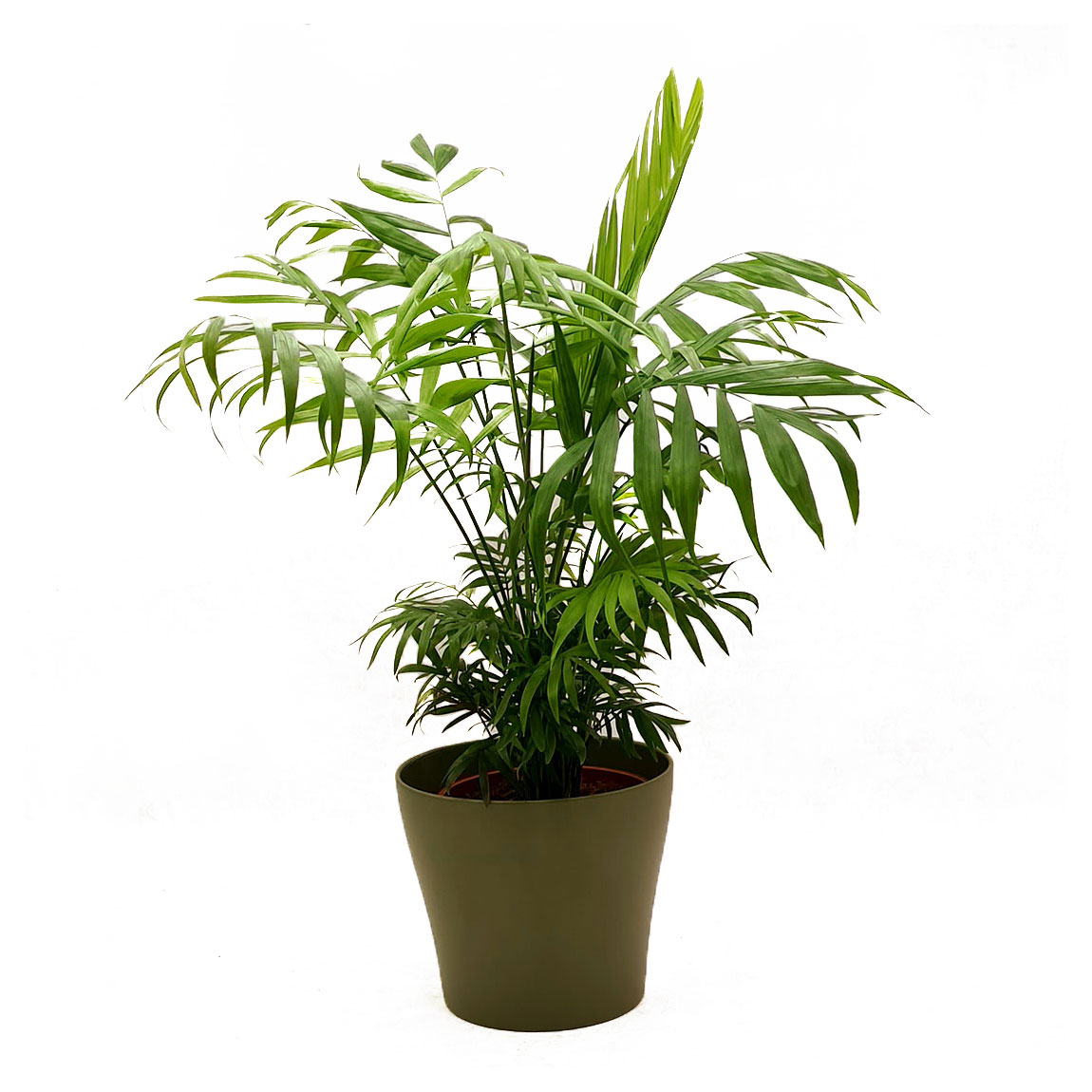 Vazoninis augalas CHAMEDORĖJA (CHAMAEDOREA), be vazono