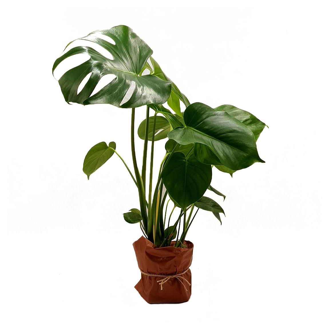 Vazoninis augalas MONSTERA (MONSTERA), ba vazono