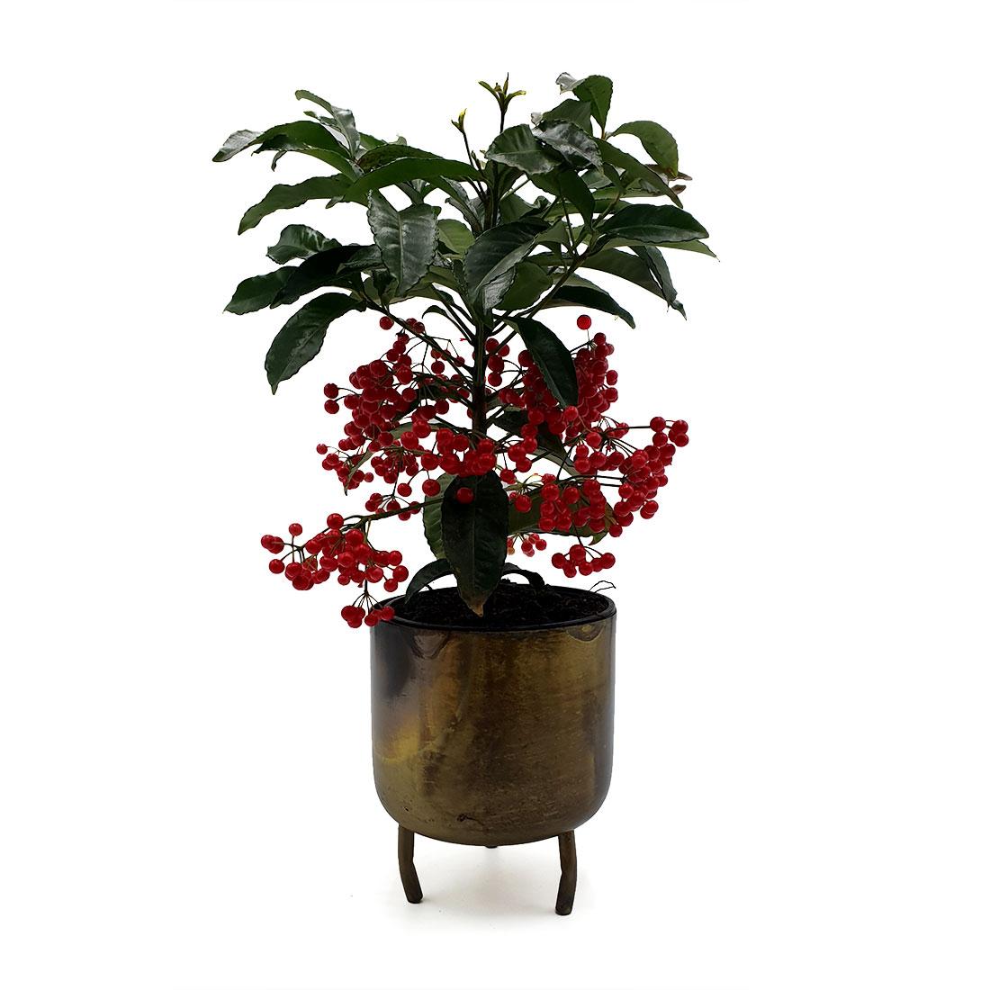 Vazoninis augalas ARDIZIJA (ARDISIA CRENATA), be vazono