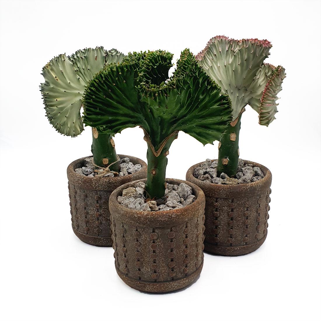 "Vazoninis augalas EUPHORBIA LACTEA ""CRISTATA"", su vazonu"