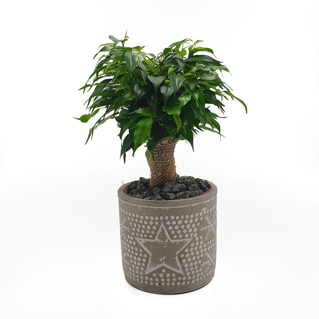 Vazoninis augalas FIKUSAS DANIELLE (FICUS), su vazonu