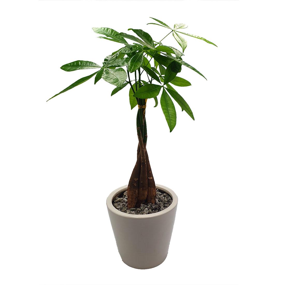 Vazoninis augalas PACHIRA (PACHIRA AQUATICA), su vazonu