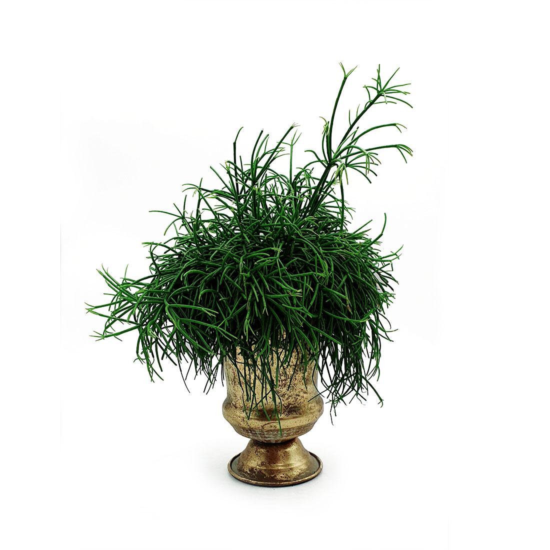 Vazoninis augalas RIPSALIS (RHIPSALIS), be vazono