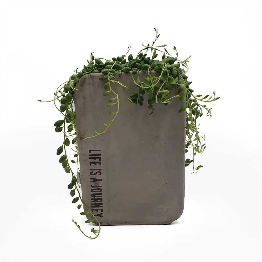Vazoninis augalas ŽILĖ KAROLINĖ (SENECIO ROWLEYANUS), su vazonėliu