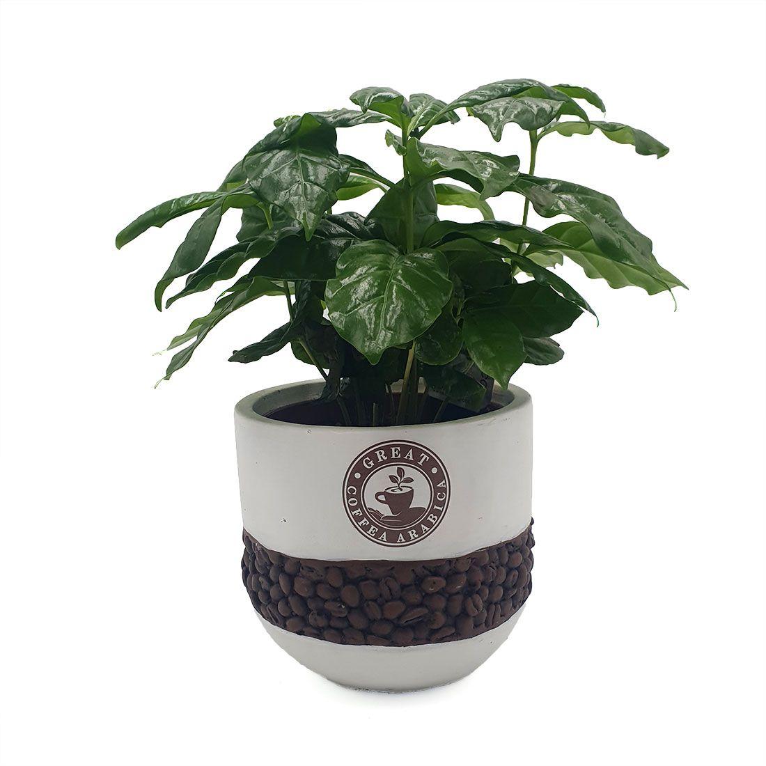 Vazoninis augalas KAVAMEDIS (COFFEA), su vazonėliu, 27cm