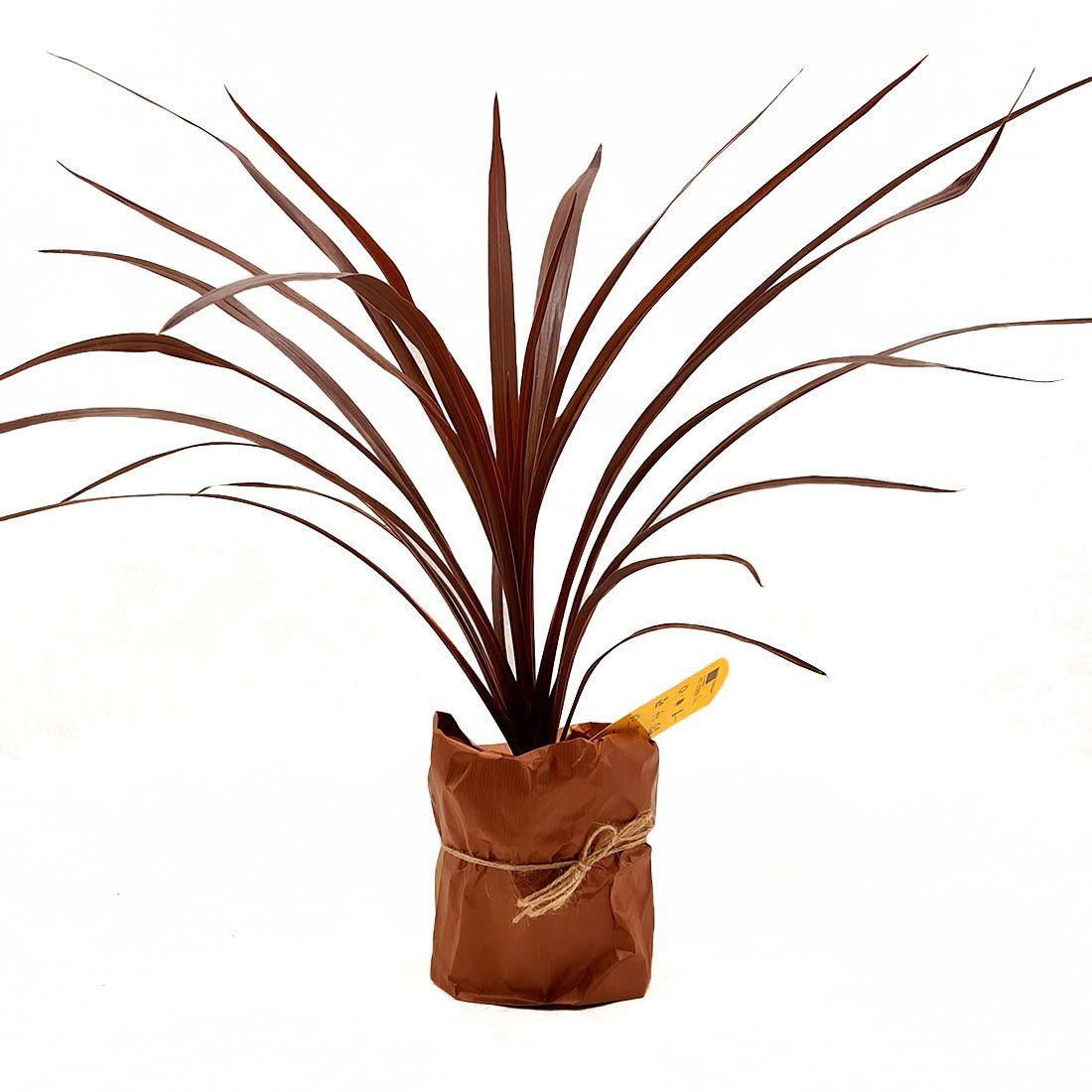 Vazoninis augalas KORDILINA (CORDYLINE), be vazono