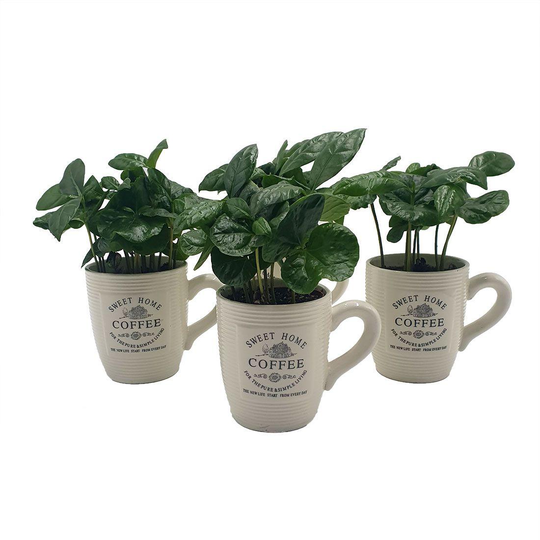 Vazoninis augalas KAVAMEDIS (COFFEA), su vazonėliu