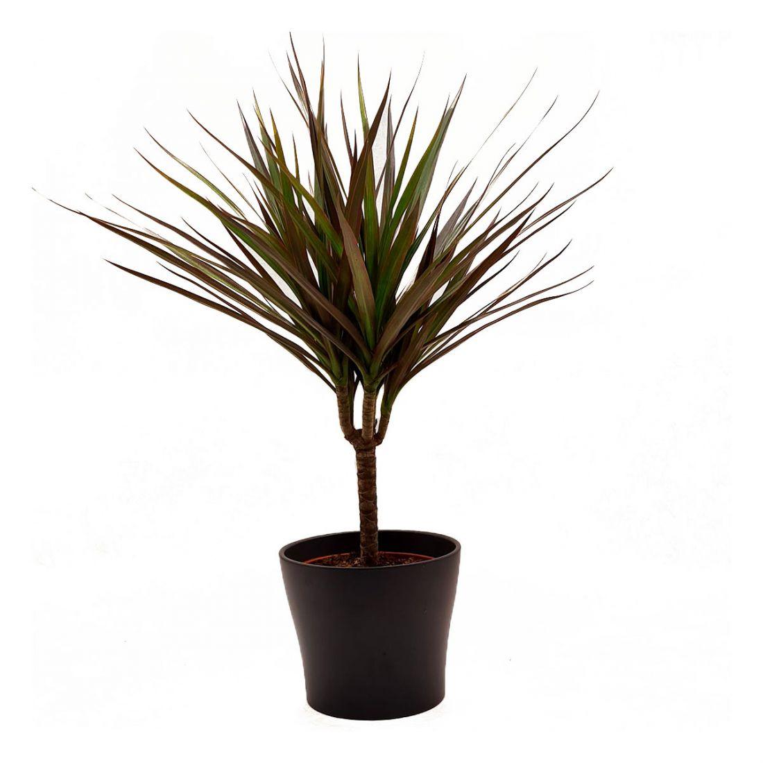 Vazoninis augalas DRACENA (DRACENA), be vazono