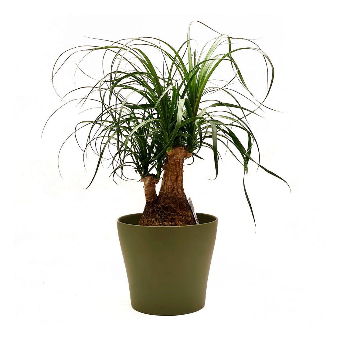 Vazoninis augalas NOLINA (BEAUCARNEA), be vazono